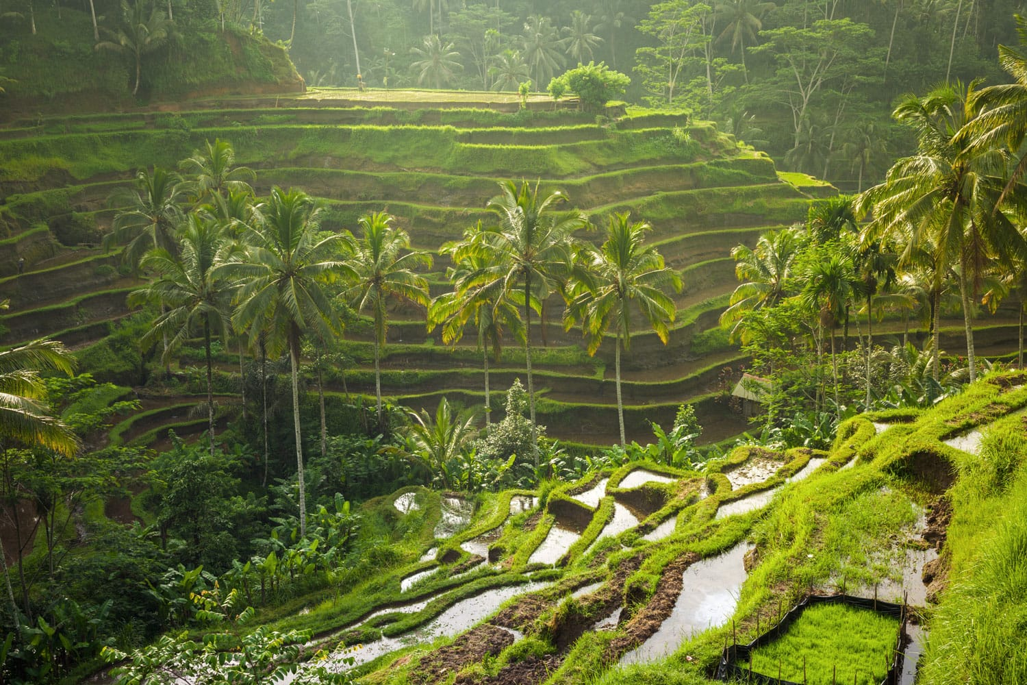 Beautiful rice terraces in the morning light near Tegallalang village, Ubud, Bali, Indonesia.
