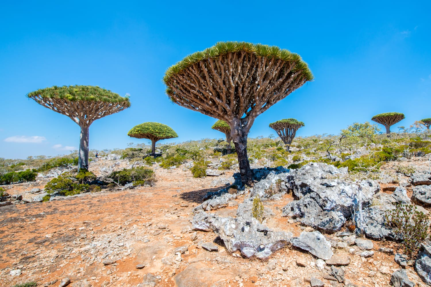 Dragon tree on the Socotra Island, Yemen