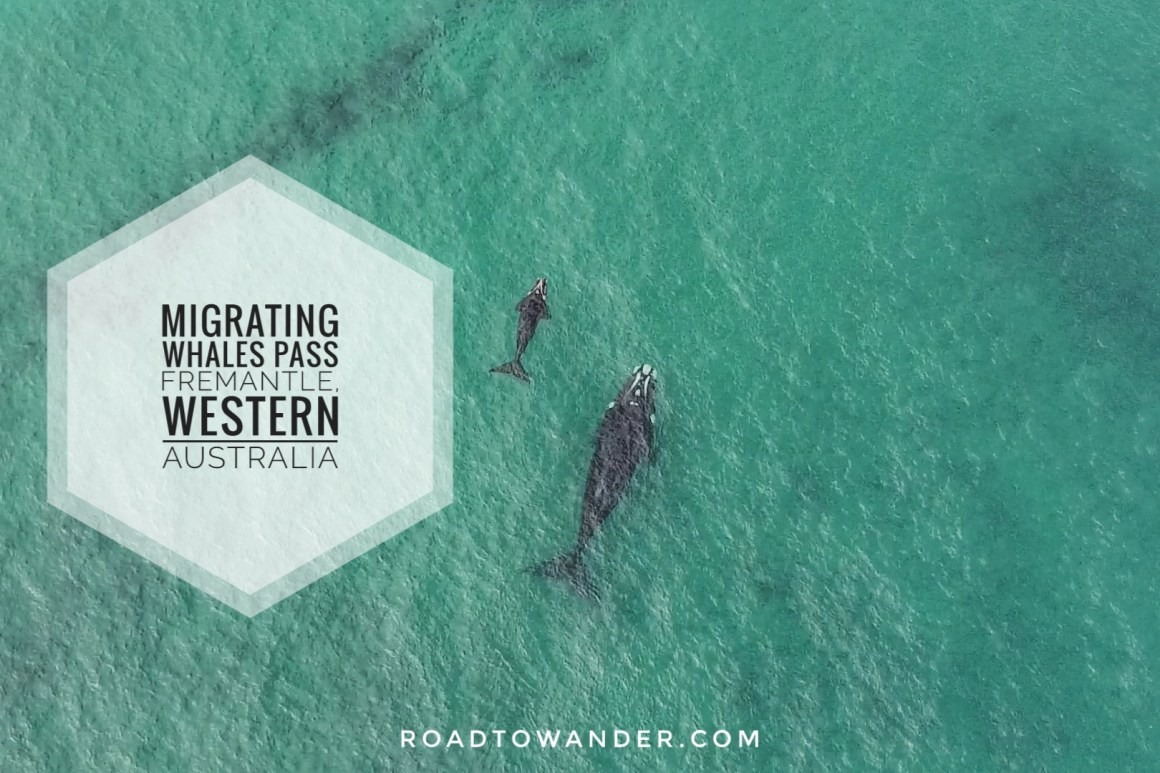 Whales passing Port Beach, Western Australia. Road to Wander