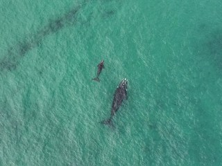 Whales at Port Beach, North Fremantle