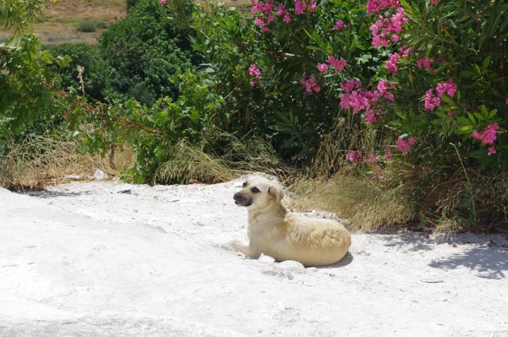 Pamukkale - Turkey-dog