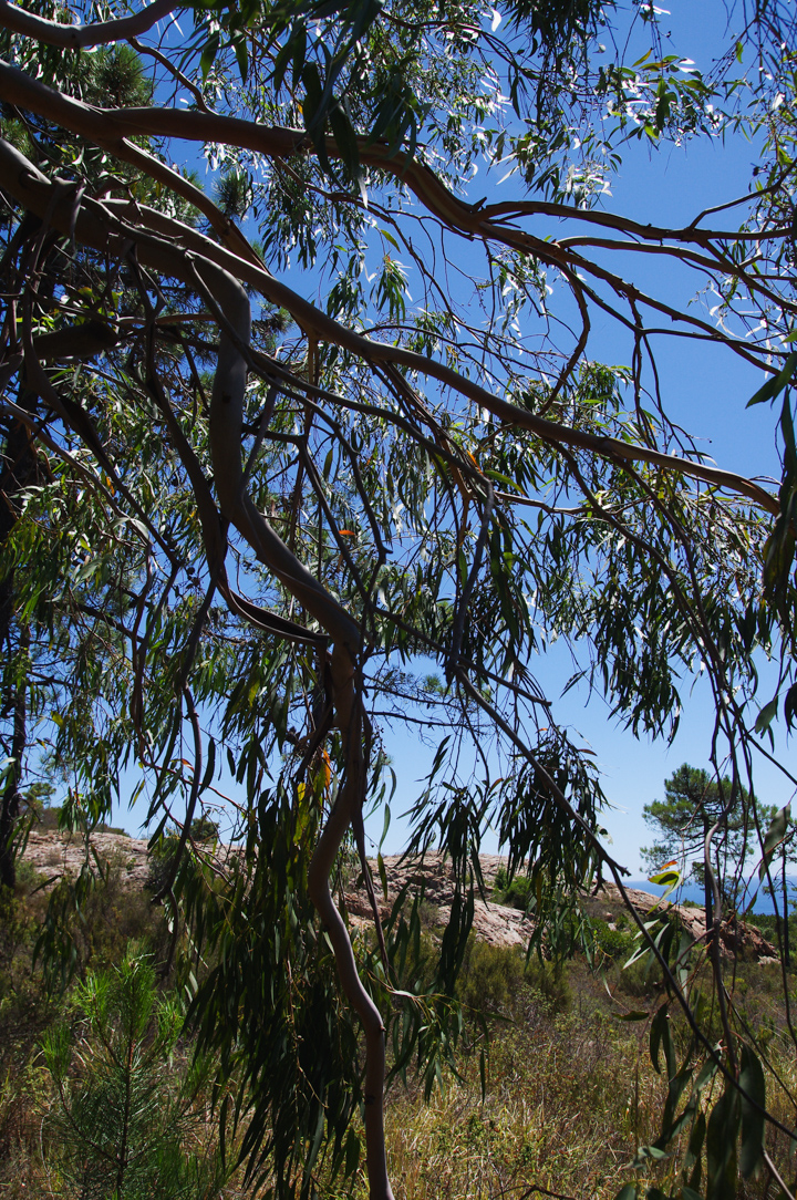 Flirting with and eucalyptus tree in the Esterel, France - Learn more on roadtripsaroundtheworld.com