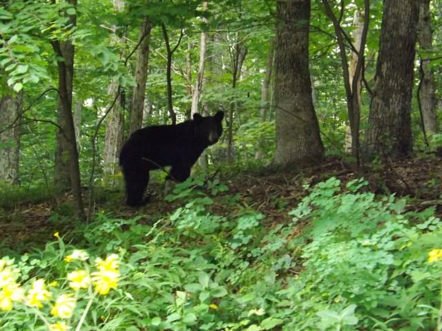 Shenandoah National Park: Black Bear of Shenandoah