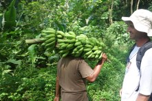 Learning about local habits and traditions (harvesting bananas)