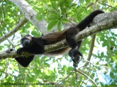 Howler monkey in Costa Rica (or was it Panama?)