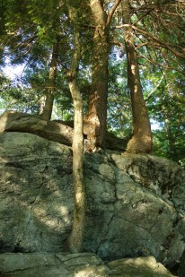 These amazing trees seem to grow on rock!