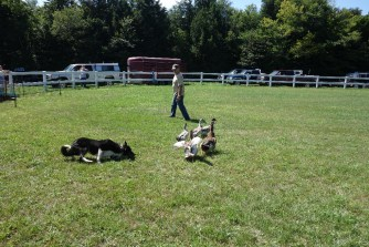 Herding demonstration with the border collie Sweep