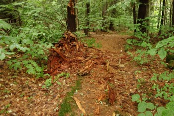 "This rotten tree along the path up ""our"" hill didn't make as much noise as some others when falling."