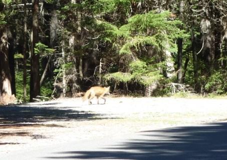 Fox near Pretty Marsh