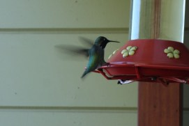 Hummingbirds, when they fly, sound like a swarm of mosquitoes!