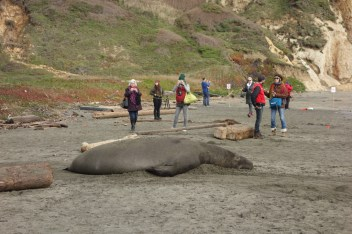 Watching elephant seals on the beach is a popular activity