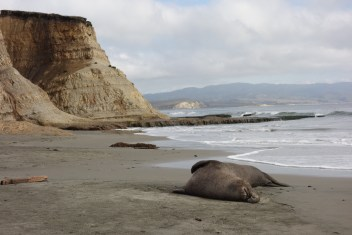 Elephant seal on one of the beaches in Drakes Bay