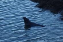 Wet elephant seal
