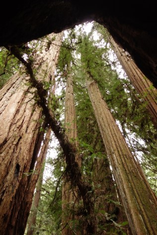 View from inside a redwood tree