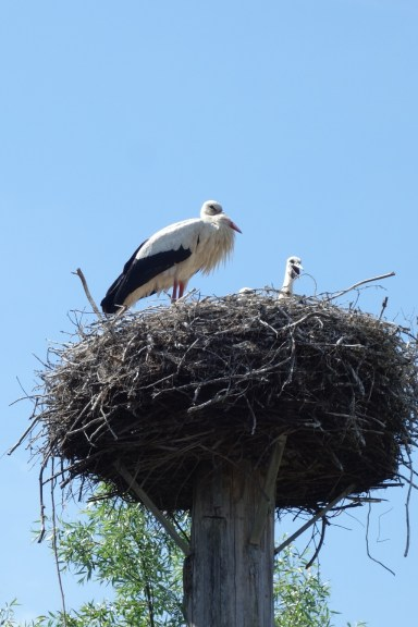 Mommy stork and one of her babies