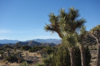Joshua trees can be found in the Mojave Desert part of the park, which is higher and cooler than the Colorado Desert section
