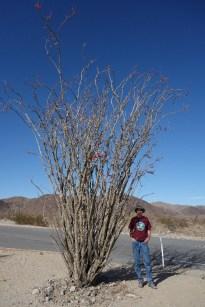 Ocotillo cactus, which is not a true cactus, in the Colorado Desert