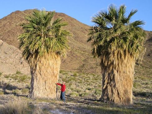 untrimmed palm trees without yard work