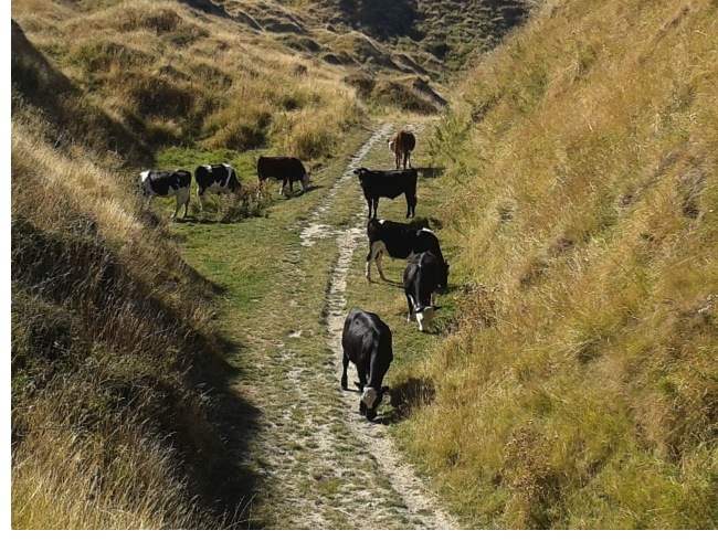 Evil cows blocking our path back to camp