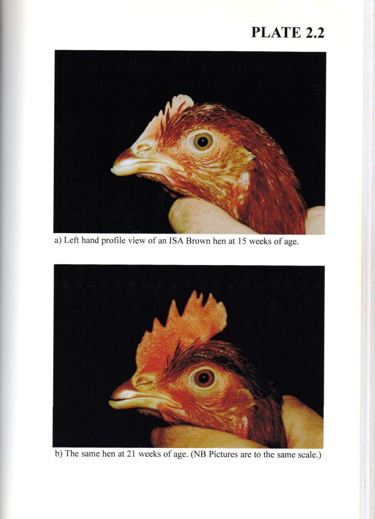 Picture of a chickens head at different ages - Rob Gregory Author