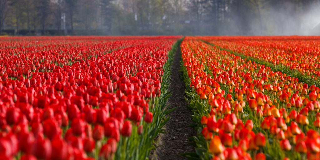 Field of red tulips - Rob Gregory Author