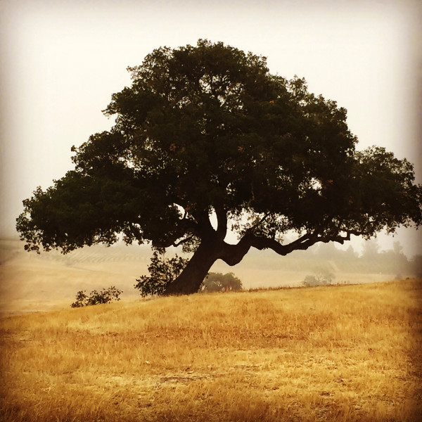Robbie Kaye, Photography, Photojournalism, Oak Tree, Santa Ynez Valley, Santa Barbara, California,