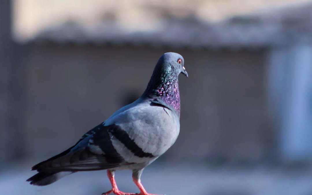 Ep. 50. The Pigeon of Dorian Gray
