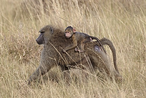 Olive gaboon (Papio cynocephalus anubis) infant riding on its mother's back, Serengeti National Park, Tanzania, East Africa, Africa