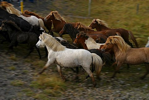 Icelandic Pure Breed horses running, Iceland, Polar Regions