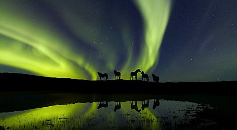 Aurora Borealis (Northern Lights) with Icelandic Pure Breed horses, Iceland, Polar Regions
