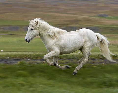 White Icelandic Pure Breed horse running, Iceland, Polar Regions