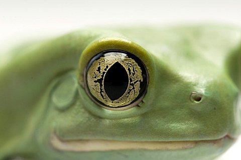 An Argentinian waxy frog (Phyllomedusa sauvagii), Wichita, Kansas, United States of America