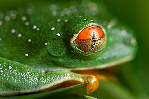 A red-eyed tree frog (Agalychnis callidryas) at the Sunset Zoo, The Sunset Zoo, Manhattan, Kansas, United States of America