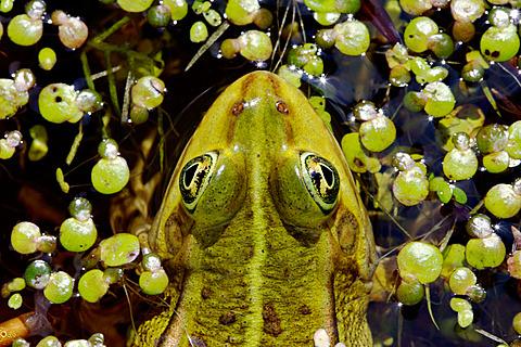 Edible Frog, Rana esculenta, Schleswig-Holstein, Germany