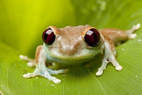 Uluguru Bush Frog (Leptopelis uluguruensis), adult, resting on leaf, Tanzania, Africa