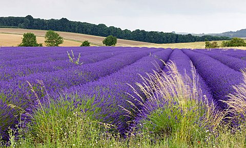 Lavender field the Cotswolds in full flower, Snowshill, Gloucestershire, England, United Kingdom, Europe