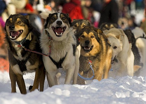 A dog team departs the starting gate in Willow, Alaska at the 2010 Iditarod Trail Sled Dog Race.