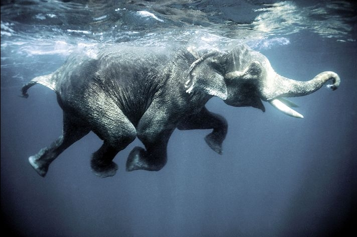 Image result for picture of an elephant in water
