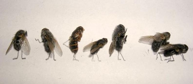 Roberto Esposito - Dead fly