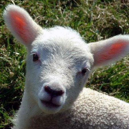 L'agnellino di Pasqua