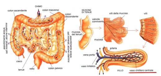 Il sistema nervoso enterico (Enteric Nervous System, second brain)