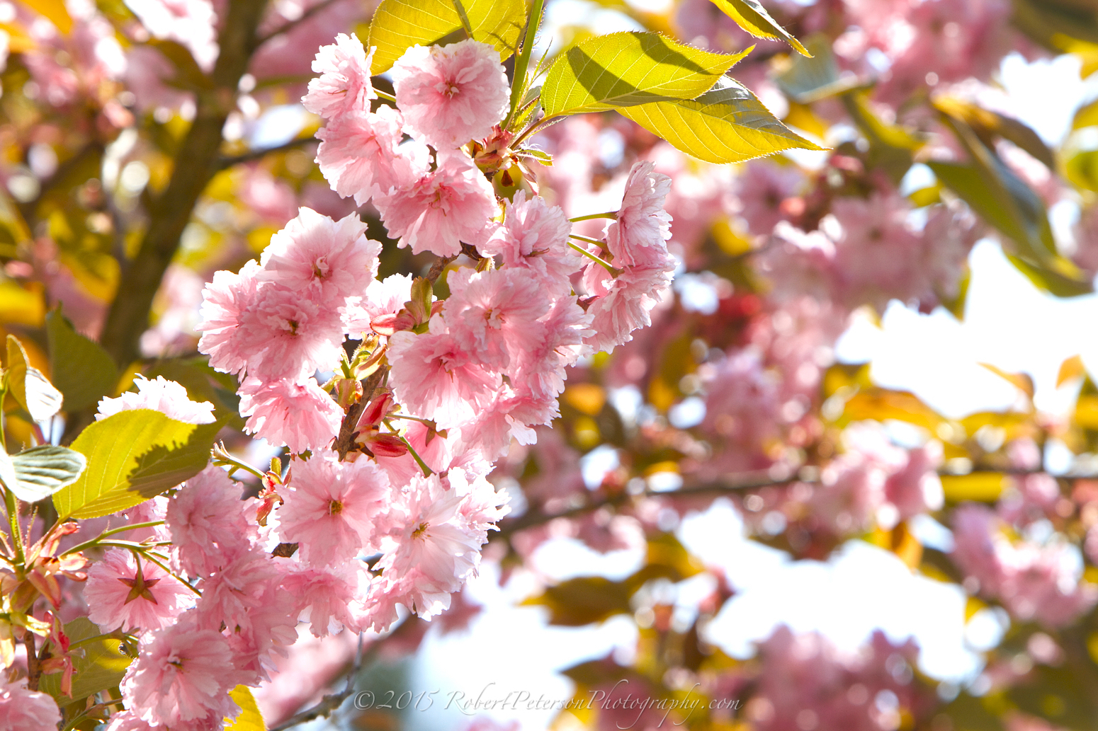 2015-04-24 Pink Blossom Robert Peterson Photography-06 1550pxRPP