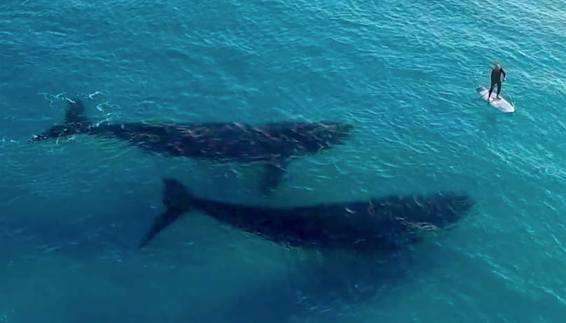 Paddle Boarder Two Right Whales Esperance Australia