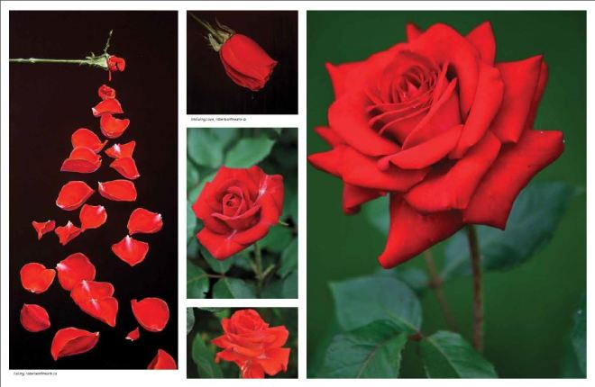 Page Spread Roses Feature - Arabella March 2012