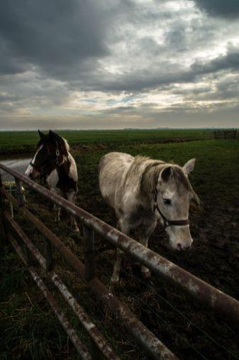 Eemnes, polder, paarden