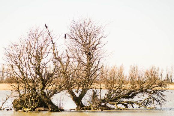 Aalscholvers in Oostvaardersplassen2