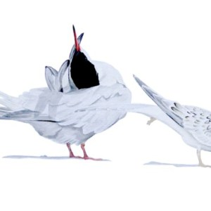 Common and Little Terns