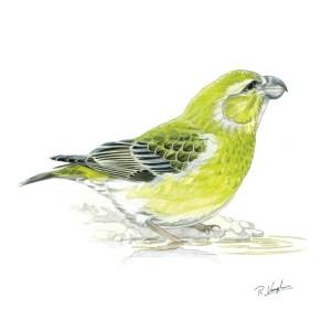 Parrot Crosbill