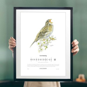 SINGING BIRD PRINTS_robertvaughanillustrations