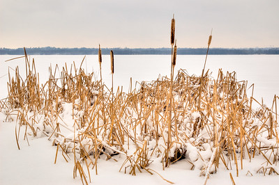 Cattails along the Ottawa River shoreline in winter.